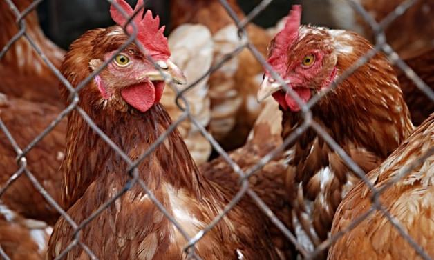 Tavuk eti üretiminde yüzde 4'lük artış