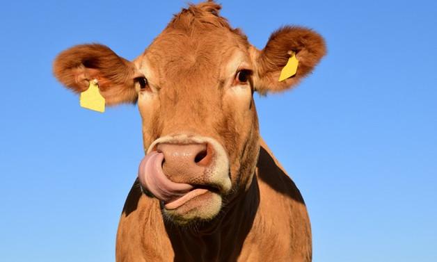 Toplanan inek sütü miktarı mayısta 915 bin ton oldu