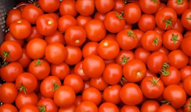 Salçalık domateste yüksek rekolte bekleniyor