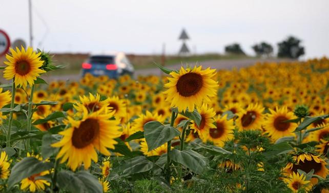 Trakya'da 60 bin ton ayçiçeği alımı yapılacak
