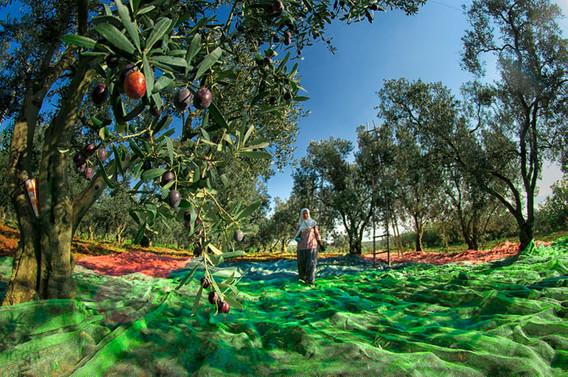 Zeytincilere 'yüzde 50 stopaj indiriminden faydalanın' çağrısı