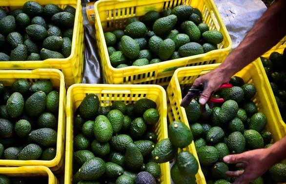 Avokado, Meksika'da patates oldu!