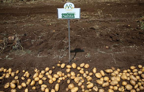Yerli patates cinsi 'Nahita' yabancılara tanıtıldı