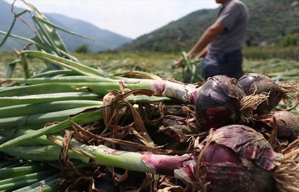 Avrupa ve Orta Doğu ülkelerinden mor soğan talebi