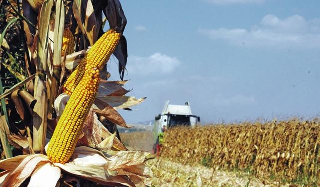 Emtia piyasasında mısır, 5 yılın en yüksek seviyesini gördü