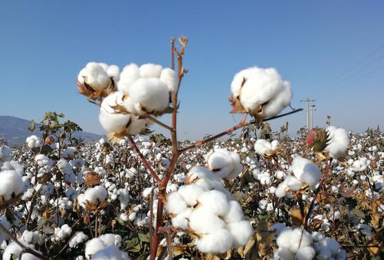 May Tohum ve TAGEM'in Türk pamuk çeşitleri uluslararası pazarda
