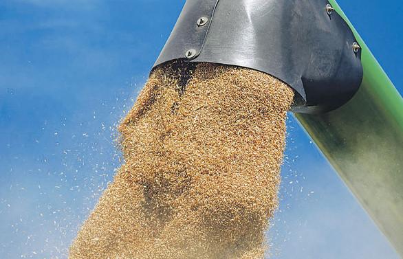 Rus buğdayını önce sıcaklar sonra yağış vurdu