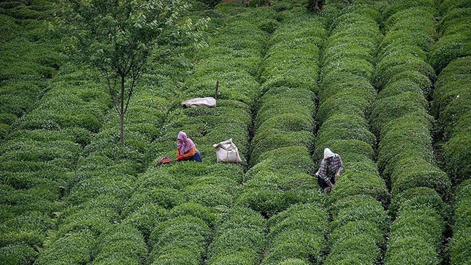 ÇAYKUR 721 bin ton yaş çay aldı