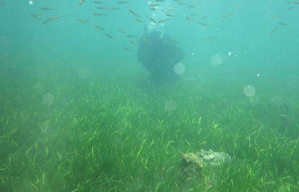 Akdeniz ve Ege'de deniz canlısı 'pina'ları yok eden parazit tehdidi