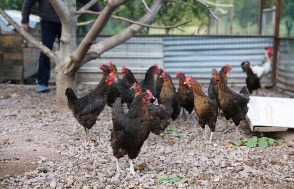 Kocaeli'de yüzde 50 hibeli tavuk desteği yüz güldürdü