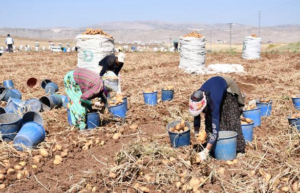 Sivas'ta sertifikalı tohumluk patates üretim alanları genişliyor