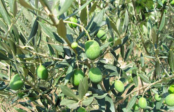 Tarsus Sarıulak zeytininde 40 bin ton rekolte hedefleniyor