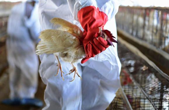 Çin'de bir de kuş gribi salgını patlak verdi