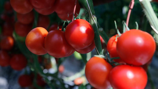 Rusya'nın domates alım kotasını artırması sektörü memnun etti