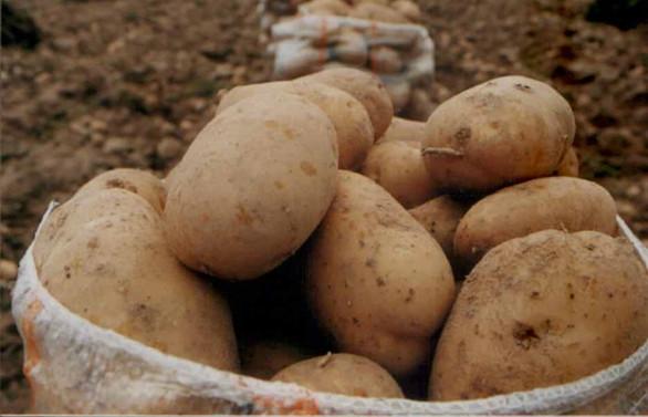 COVID-19 patateste işçi sorunu yarattı