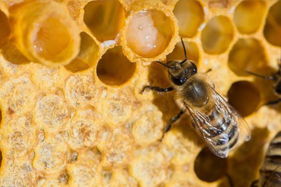 Arı sütü üretimine önem verilecek
