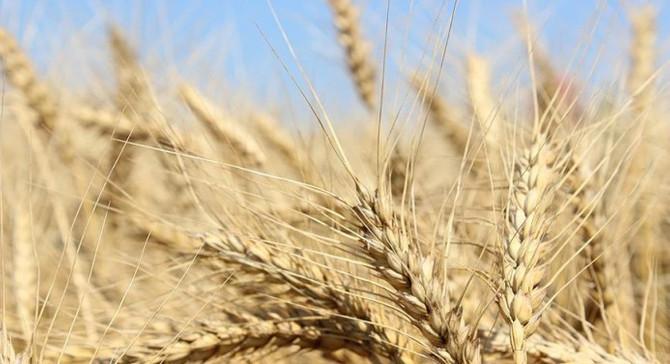 Adana'da üretilen sezonun ilk buğdayı Gaziantep'te satıldı