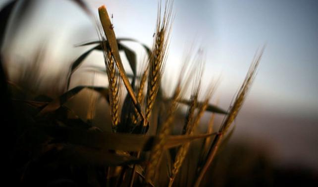 Buğday ve bakliyat alım fiyatının ayrıntıları