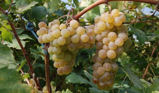 Şanlıurfa'da yok olmaya yüz tutmuş 23 üzüm çeşidi üretime kazandırılacak