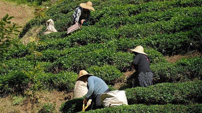 ÇAYKUR toplam 412 bin ton yaş çay aldı