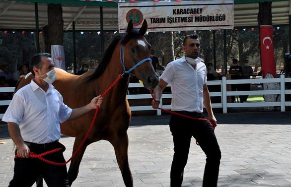 Safkan Arap tayları 3,1 milyon lira gelir getirdi