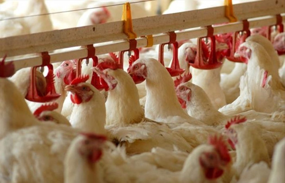 Çin: Brezilya'dan ithal edilen tavuk kanadı örneğinin koronavirüs testi pozitif çıktı