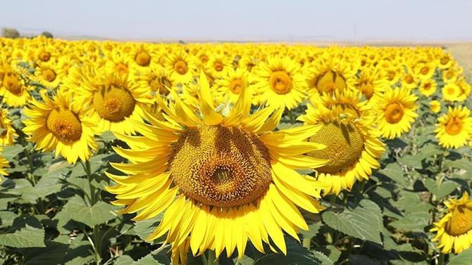 Trakya Birlik ayçiçeği avans ödemesi fiyatını açıkladı