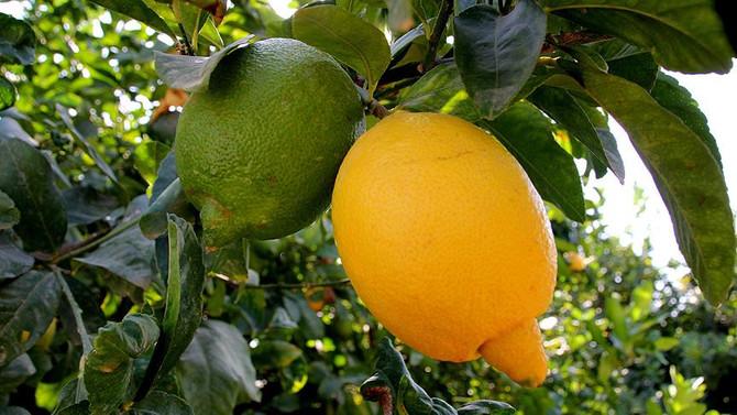 Turunçgilde ihracat sezonu erkenci limonla açılacak