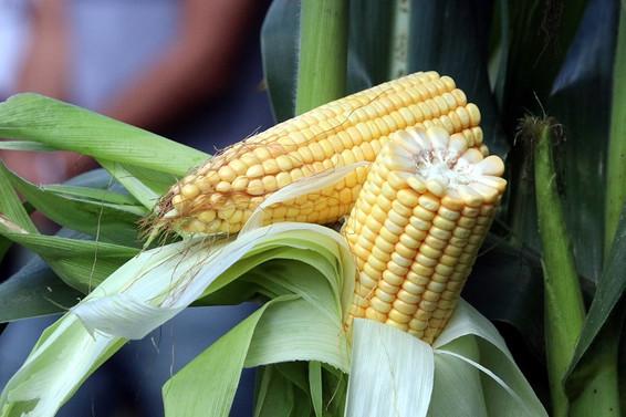 Yerli mısır aga dekar başına 6 ton fazla mahsul verecek