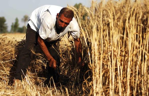 Suudi Arabistan'da 'buğdaya' özgürlük!