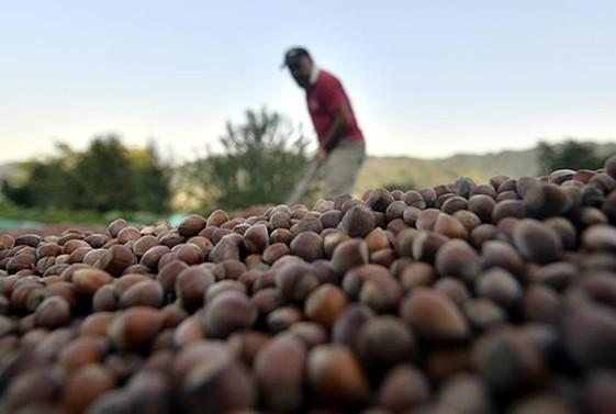 Toplam fındık ihracatının yüzde 39'u Trabzon'dan