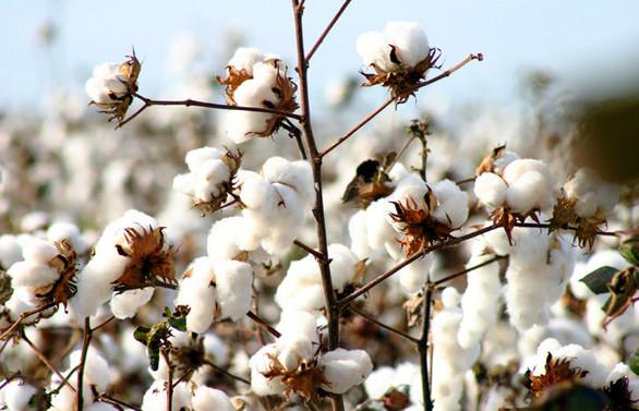 Pamuk ekimindeki büyük düşüş Better Cotton'un da hızını kesti
