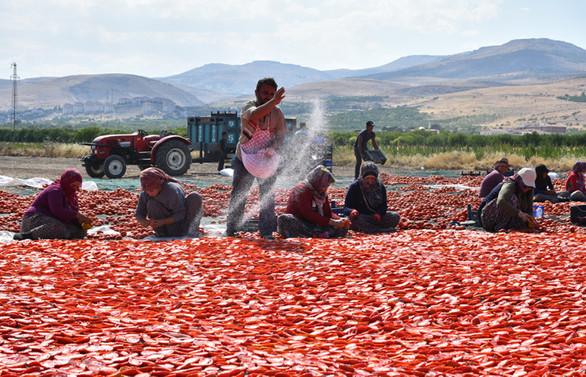 Kurutmalık domates çiftçiye gelir, işçiye istidam oldu