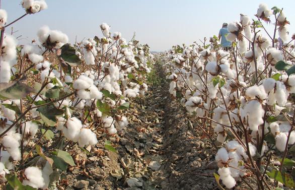 Amik Ovası'nda pamuk hasadı başladı