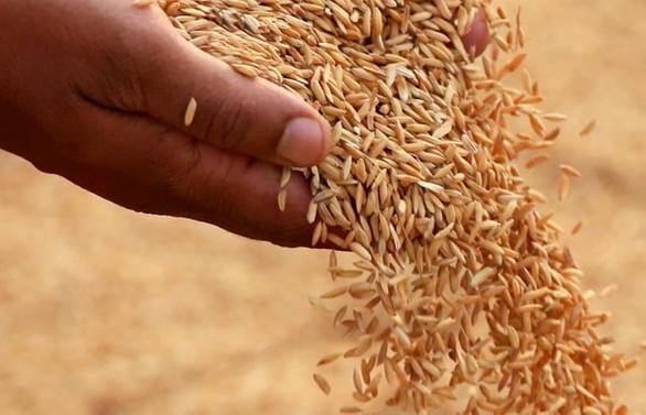 Pandemi ve döviz endişesi, hasadı başlayan çeltikte fiyatı artırdı