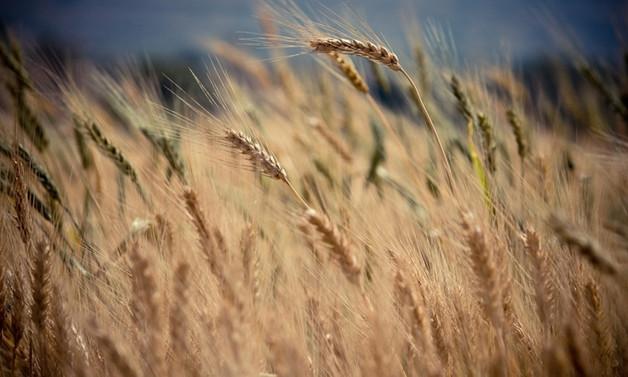 TMO, buğday ve arpa satış fiyatlarını belirledi