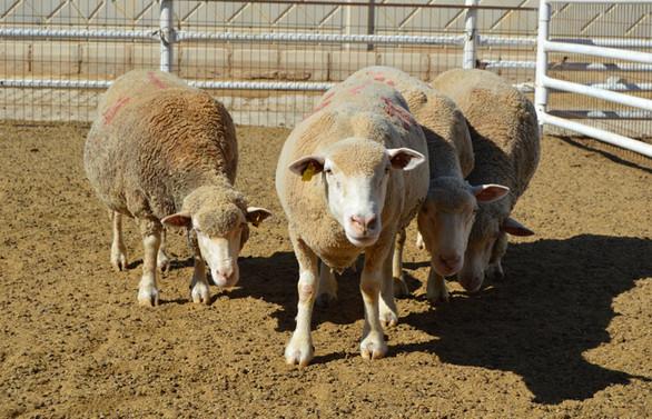 Üniversite özel sektör iş birliğiyle üretilen damızlık koyunlar yoğun talep görüyor