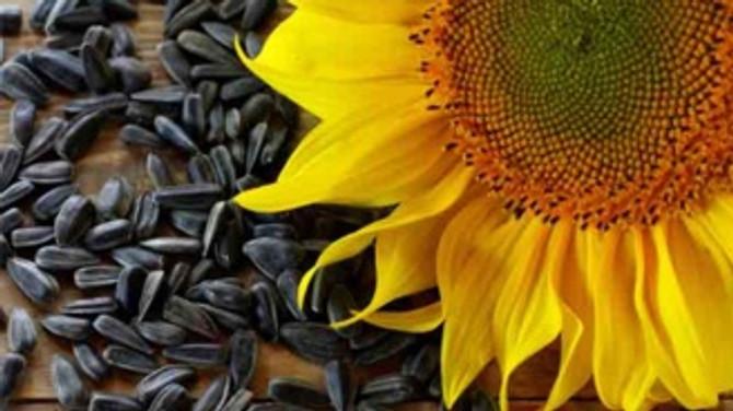 Çerezlik ayçiçeği ithalatında uygulanan Toplu Konut Fonu arttı