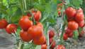 'Çiklet fiyatına domates satılıyor'