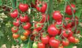 Çeri domatesin kilosu tarlada 4 lira