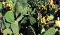 Dikenli incir hasadı başladı