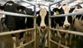 Singapur'dan inek ithalatında vergi sıfırlandı