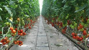 Mersin'de domates üreticide 80 kuruşa düştü