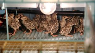 113 bine yakın kınalı keklik doğaya salındı