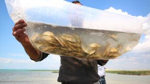 591 göl ve gölete yavru sazan bırakılıyor