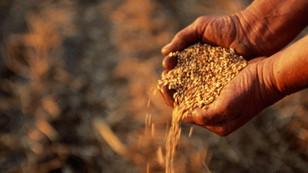 Buğday üreticisinin yüzü gülüyor