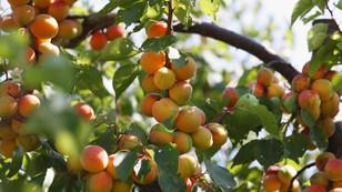 Korunan alanlara 140 bin meyve fidanı