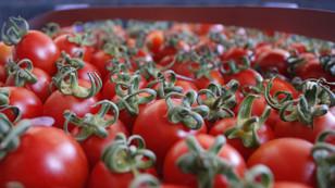 Rusya domates ithalatını görüşmeye hazır