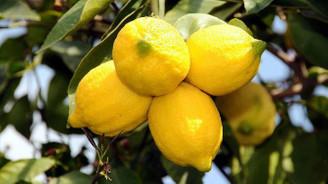 Limonun fiyatı üreticiyi sevindirdi