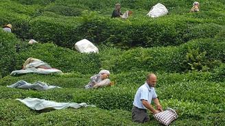 ÇAYKUR yaş çay alımı ve ödemelerini tamamladı
